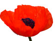 canvas print picture - roter mohn