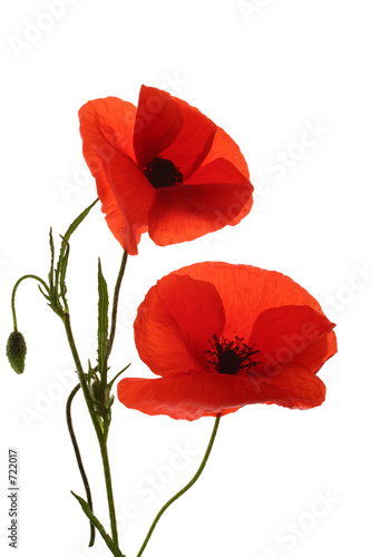 Foto op Canvas Poppy coquelicot,