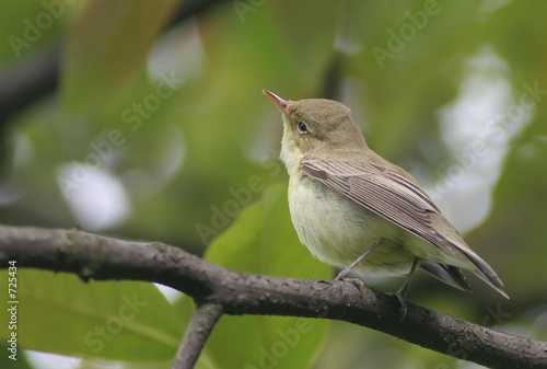 Foto small bird - common chiffchaff or willow warbler