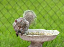 Squirrel Bath
