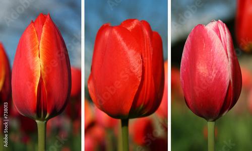 Naklejki tulipany tulipany