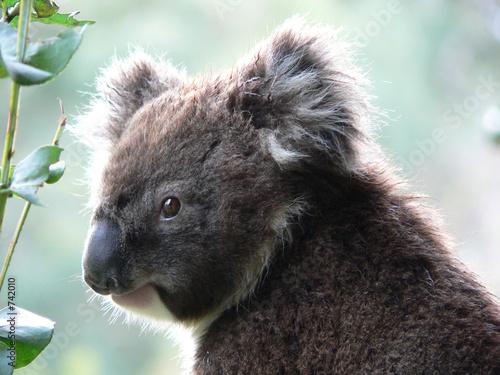 Garden Poster Koala the best koala picture