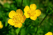 Summer Flower, Buttercup, Spea...