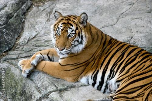 Foto auf AluDibond Tiger tigers gaze
