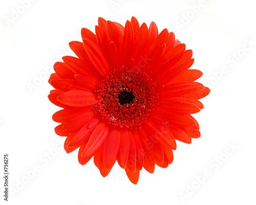 Fotografia red gerbera flower