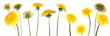 canvas print picture - dandelions (taraxacum officinale)