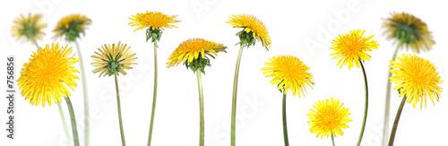 Poster Pissenlit dandelions (taraxacum officinale)