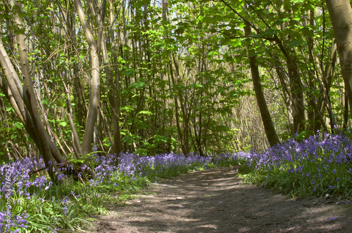 Photo woodland bluebells