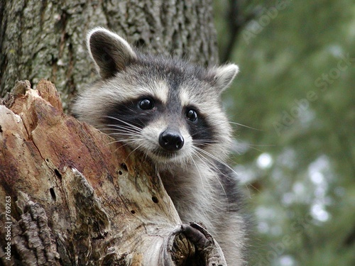 Photo cute raccoon