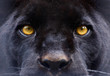 canvas print picture - the eyes of a  black panther