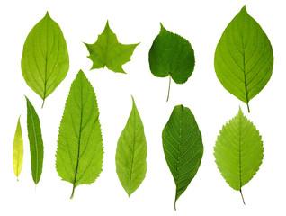 Fototapeta green leaves isolated
