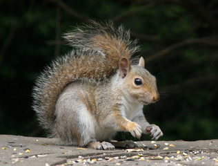 Naklejka na ściany i meble squirrel picking up seeds