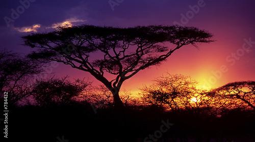 Foto op Aluminium Afrika acacia tree
