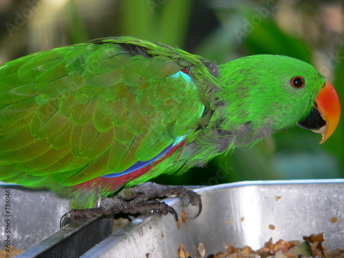 Fotografie, Obraz  eclectus parrot