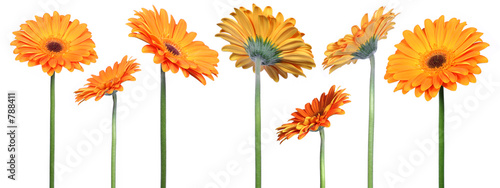Door stickers Gerbera gerberas