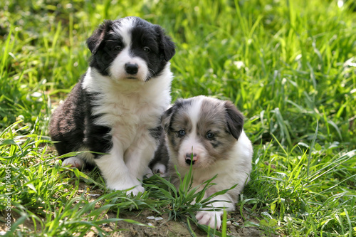 Canvas two young border collies