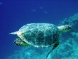 life under water, hawksbill turtle