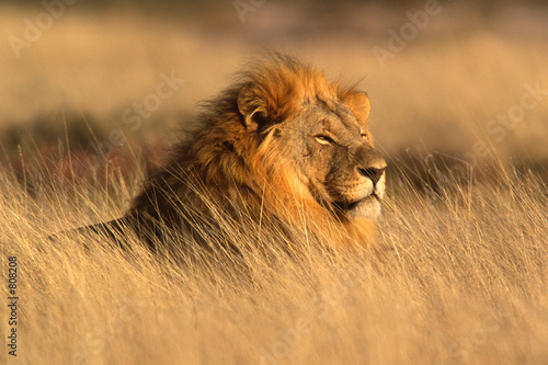 Photo big male lion