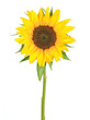 canvas print picture - sunflower