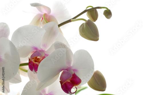 Papiers peints Orchidée orchidée pholenopsis