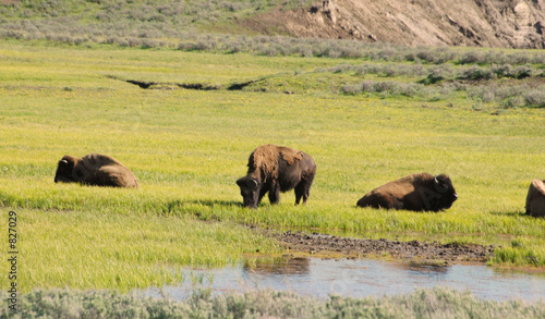 Aluminium Prints buffalo eating