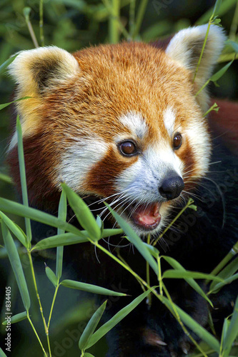 Fotografie, Tablou red panda portrait