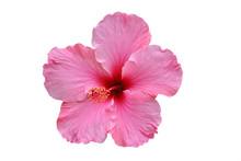 Hibiskusblüte Rosa