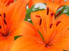 Fleur Orange De Lys Nain