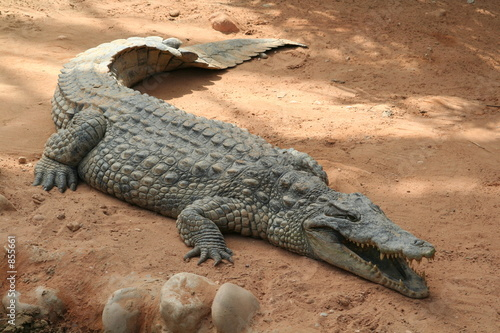 Foto op Canvas Krokodil le crocodile