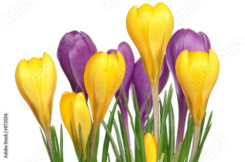 Stickers pour porte Crocus crocuses