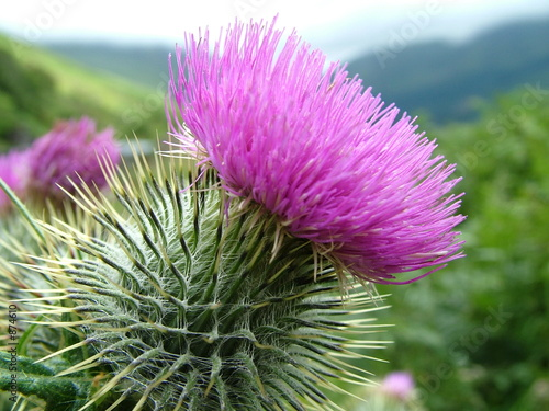 Fototapeta distel / schottland / highlands