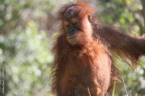 Deurstickers Aap orang,orangutan,primate,ape,anthromorphic,animal,m
