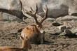 reindeer,mammal,animal,nature,san diego,california