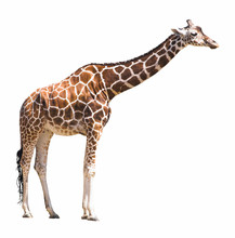 Giraffe Isolated On White Back...