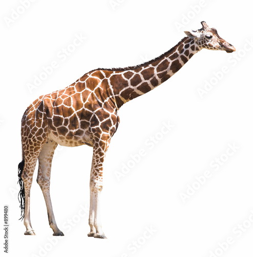 giraffe isolated on white background Poster