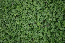Patch Of Clover