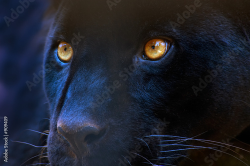 Spoed Foto op Canvas Panter the eyes of a predator