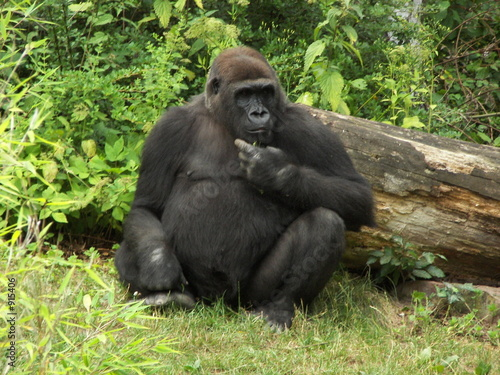 Photo  sitzender gorilla