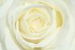 canvas print picture - rosenblüte
