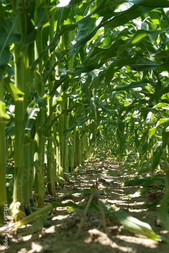 Foto op Canvas Bos in mist inside the corn stalk rows