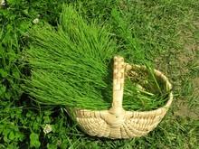 Picking Herbs Of Horsetail