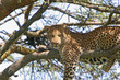 canvas print picture leopard entspannt sich auf einem baum