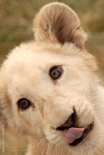 Fototapety, obrazy: white lion cub (panthera leo), south africa