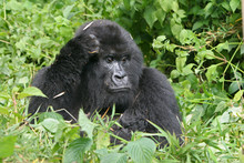 Nachdenkliches Gorilla Weibchen
