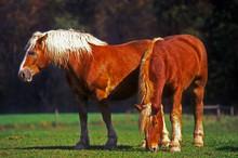 Belgian Draught Horses At Pasture
