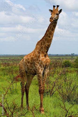 Papiers peints Girafe giraffe