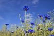 canvas print picture - bleuets