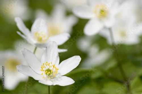 Poster de jardin Nénuphars wood anemone
