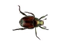 Japanese Beetle Pest - Popilli...