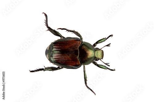 Canvas Print japanese beetle pest - popillia japonica